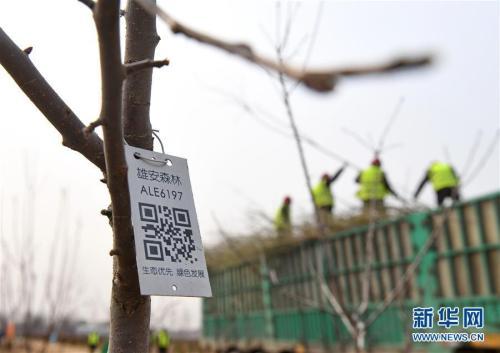 """这是河北雄安新区""""千年秀林""""栽植苗木上的二维码(3月21日摄)。新华社记者 牟宇 摄"""